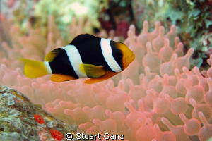 Clown fish living in a pink anemone, beautiful. by Stuart Ganz 
